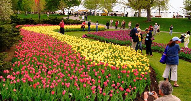 tulipe a ottawa